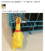 可怜的咕咕鸡
