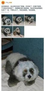 欺负我们没见过熊猫吗?