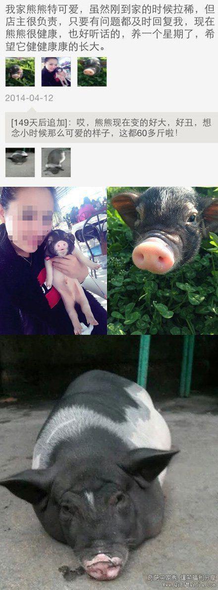 淘宝买的可爱的小天使宠物猪猪果然健健康康的长到了60斤。。。